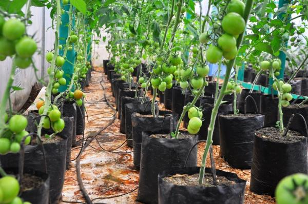 Green House Tomato farming | Horticultural News