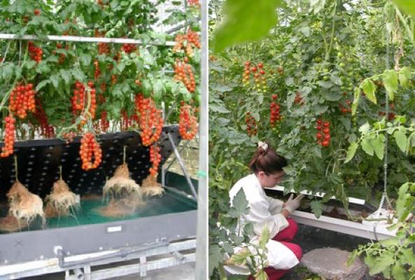 Growing Tomatoes In The Air Horticultural News
