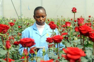 Kenya rose production has dropped in the last one year on cold weather