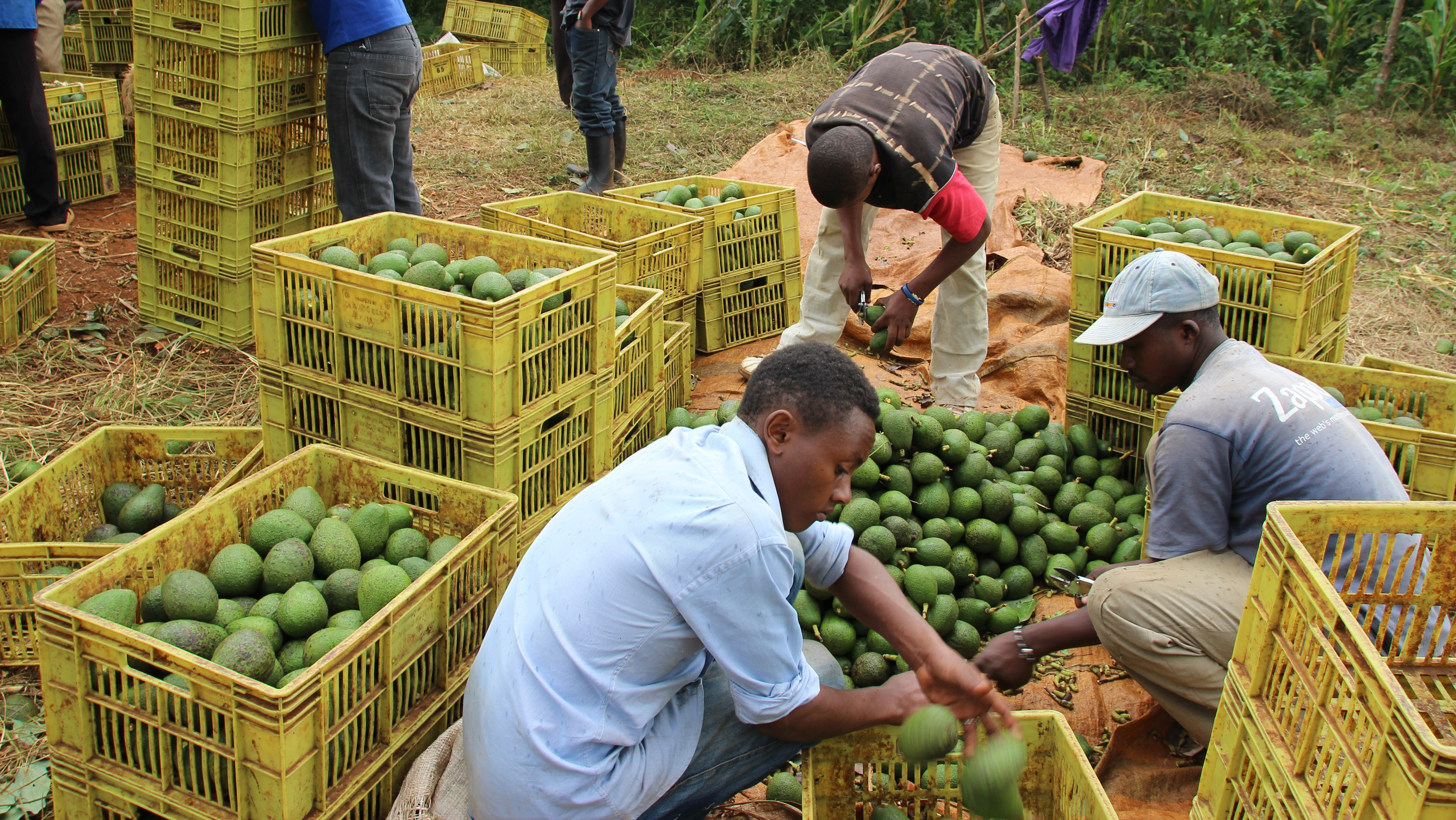 Over 300 avocado farmers receive globalgap certification ap certification include access to new business opportunities especially in the european market and the ability to earn higher incomes through price xflitez Gallery