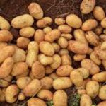 Roslin Eburu (B53) potato variety