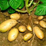 Kenya Baraka kalro potato seeds