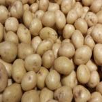 Tigoni potato by KALRO