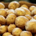 Dutch Robijn potato variety