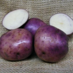 Purple Gold potato variety by KALRO