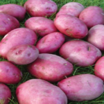 Rudolph potato variety by Agrico East Africa