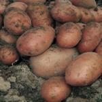 SARPO MIRA potato variety by Africalla