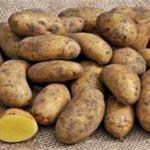 Mayan Gold Potato variety by MMUST & Kalro
