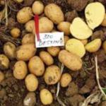 Destiny (SL99-4005) potato by Agrico East Africa