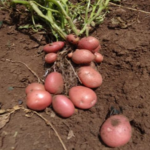 UNICA potato variety by International Potato Centre (CIP) & KALRO