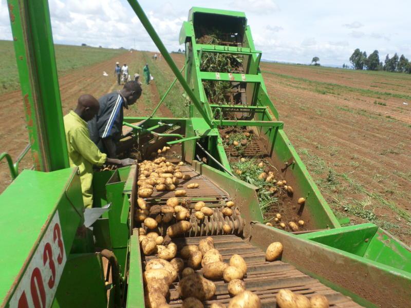 حصاد البطاطس الكينية